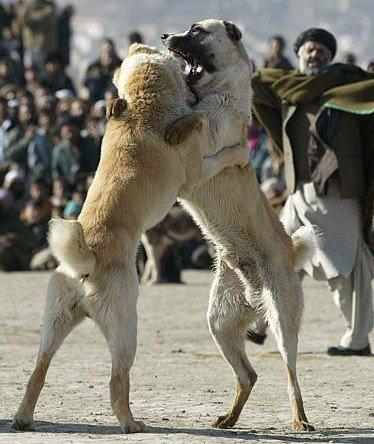 afghanistankandaharcombatchiens11.jpg